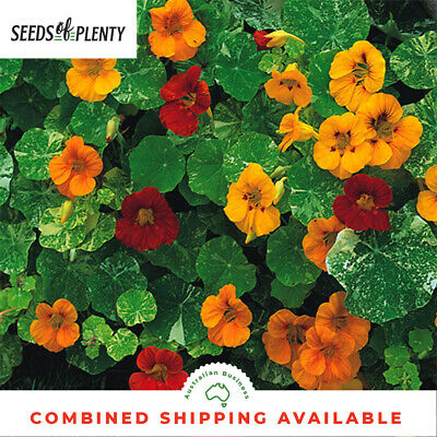 NASTURTIUM - Tom Thumb (50 Seeds) BULK Beds & Borders HEIRLOOM Edible