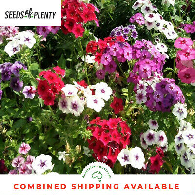 PHLOX - Drummond's (250 Seeds) BULK Containers HEIRLOOM Beds & Borders