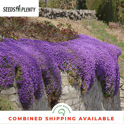 ROCK CRESS - Purple Cascade (250 Seeds) BULK Ground Cover HEIRLOOM Rockcress