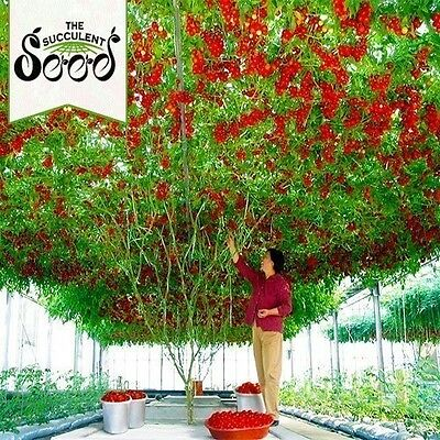 TOMATO - Giant Tree (50 Seeds) BULK Heirloom SUPER LARGE PLANTS Up to 6m long