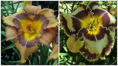 Day Lily Hémérocalle Lis N59: seedling 9-82 X Born to be Wild =5, graines seeds