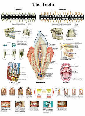 Text Book Anatomy Pathology Doctor Dentist A3 Medical Poster The Human Teeth