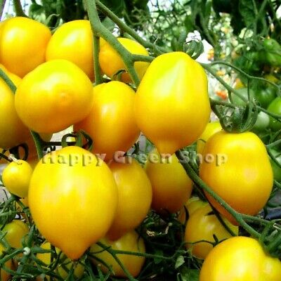 Large Pink Tomato - 300 Seeds - Pink Super King