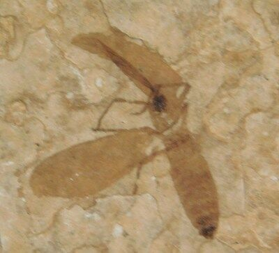 A Nice! and 100% NATURAL 50 Million Year Old Insect Fossil Bee Wyoming! 23.2gr