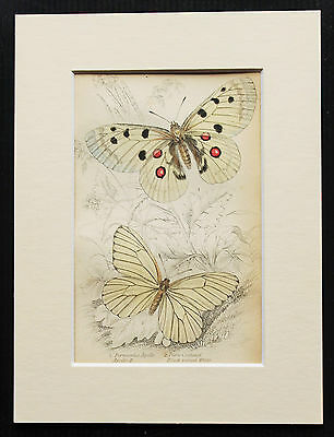 Apollo White Butterfly - Mounted Antique Insect Bug Print 1840s by Jardine