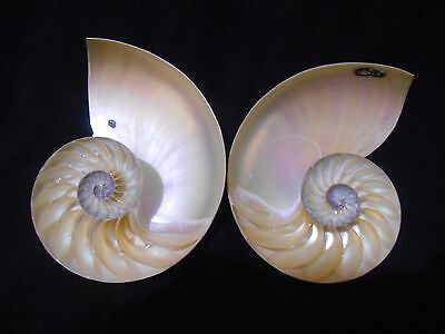 Chambered Nautilus ,Natural  Split  Top Quality 150 mm