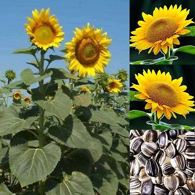 20 Seeds - Giant Sunflower Mix Hot Sale