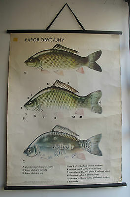 Vintage Retro Fish School Poster Scientific Classroom Diagram Original Hanging