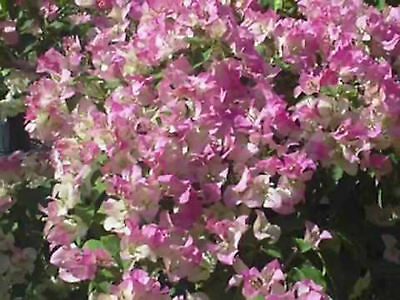 Bougainvillea - Pink and White Surprise & Purple Queen - seeds.