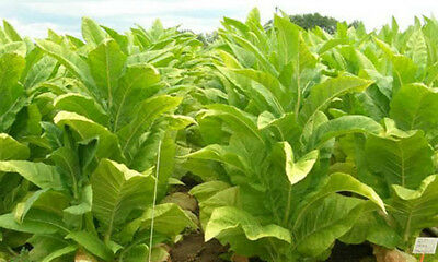 Golden Virginia Tobacco 1500+ seeds - fresh this season - grow any time of year