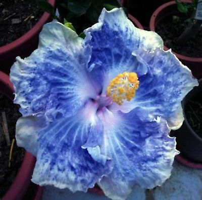 Hibiscus - Icy Silver & Blue Chiffon Double - seeds