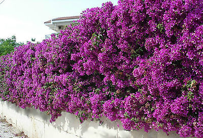 Bougainvillea - Purple Queen & San Diego Red - seeds.
