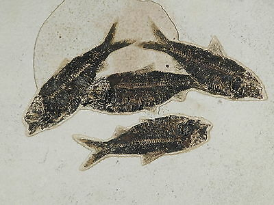 WOW! Four BIG 50 Million Year Old Knightia Alta Fish Fossils Wyoming 3911gr e