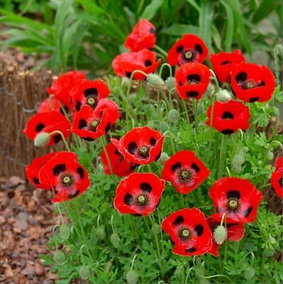 Flower - Kings Seeds - Picture Packet - Poppy - Ladybird - 500 Seed