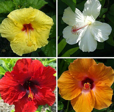 Hibiscus mix - tropical addition to your garden - seeds
