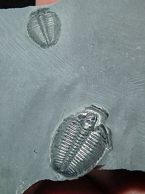 TWO! Little Nice and 100% Natural Elrathia Trilobite Fossils From Utah 47.5gr *C