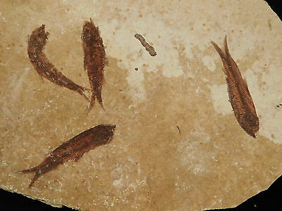 A School of FOUR Small Restored 50 Million Year Old Fossil Fish! Wyoming 259gr