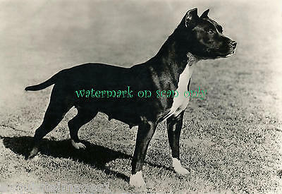 Vintage Photo- GORGEOUS STAFFORDSHIRE PIT BULL TERRIER DOG~NEW Large Note Cards