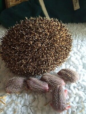 ***** Please Help Save The Hedgehogs *****help Animal Rescue***
