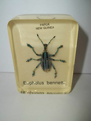 Real Insect Paperweight Blue Beetle. From Papua, New Guinea. Eupholus Bennetti.