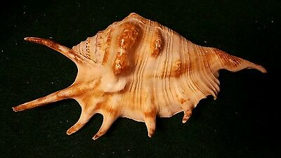 Large Strombidae- Lambis lambis or Spider / Scorpion Conch (PRIVATE COLLECTION)