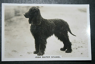 Irish Water Spaniel    Vintage B&W Photo Card   VGC