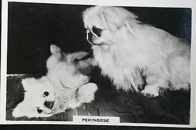 PEKINGESE   Vintage Black & White Photo Card # VGC