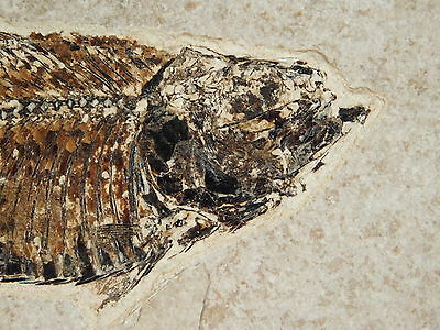 Super FINE Bones! A Small 50 Million Year Old AAA Fossil Fish Wyoming 261gr