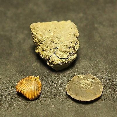 Brachiopods Gastropods Bivalves Toarcian Pliensbach Jurassic France Aveiron lot