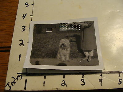 Vintage B & W photo: Sitting Soft Coated Wheaten Terrier