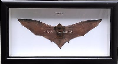Pipistrelle Bat Taxidermy Facing Inwards- Real- Framed - Collectible - Viet Nam