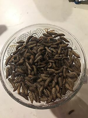 Live Black Soldier Fly Larvae- 500 count Buyer Takes Responsibility In Heat BSFL