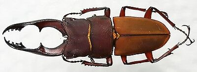 Lucanidae - Leptinopterus conssimilis A1 male 31mm +Very Rare+   Brazil !!