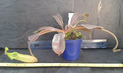 Nepenthes maxima wavy leaf form, BE-3543