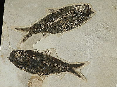TWO Nice 100% Natural 50 Million Year Old Knightia ALTA Fish Fossils Wy 1020gr