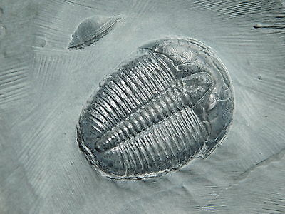 A Pristine and PERFECT! 500 Million Year Old Trilobite Fossil From Utah 110gr *G