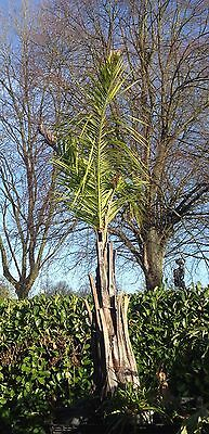 Well Established Butia Capitata Or Jelly Palm in a 1.2m x 1m Pot 3m tall