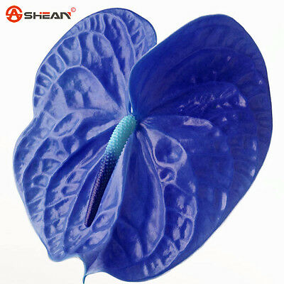100 AA Rare Blue Anthurium Seeds Indoor Potted Hydroponic Flowers Plant Seeds