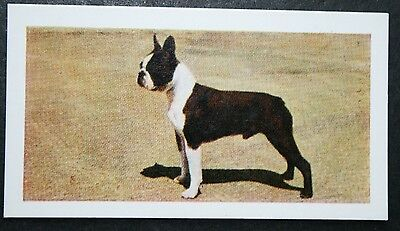 BOSTON TERRIER   Vintage Colour Photo Card  ##  VGC