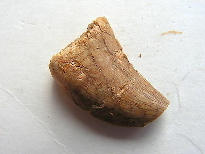 FOSSIL African Flesh Eating T-Rex Dinosaur Tooth