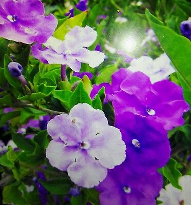 Brunfelsia pauciflora yesterday today established branched plant 12cm pot rare
