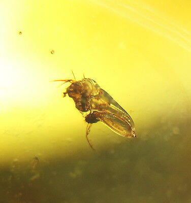 Fossil fly in baltic amber  14x12mm   [1598]