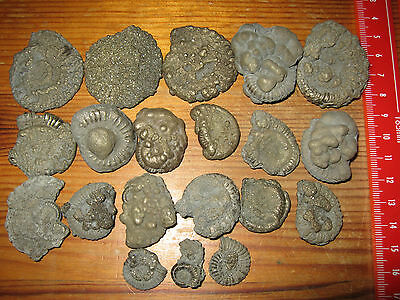 20 Pyrite Encrusted Ammonites Fossil Charmouth