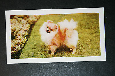 Pomeranian    Vintage Colour Photo Card    Excellent Condition