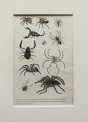 1830s Antique Natural History Print Engraving - Mounted - Scorpions, Spiders