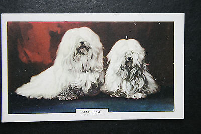 Maltese   Toy Dog    1930's Original  Vintage Coloured Card  VGC
