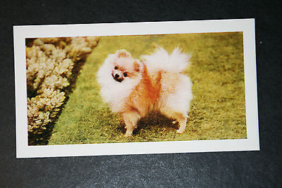 Pomeranian    Vintage Colour Photo Card  # Excellent Condition