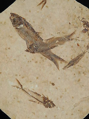 School of THREE! Small 100% Natural Fish Fossils 50 Million Years Old Wy 120gr