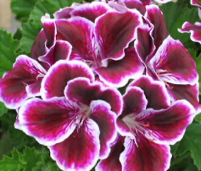Pelargonium - 4 varieties to choose from collection 1 - seeds