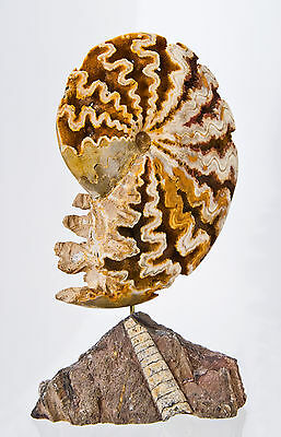Moroccan Ammonite Chamber Fossil Museum Quality Nautilus Ocean Shell Stand